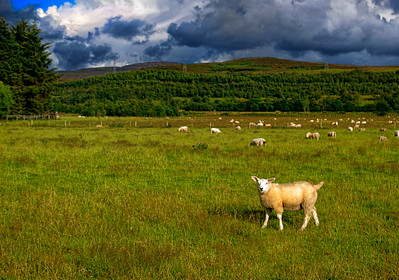 Sheeps pose graciously along the Highland Glens of Cairngorns National Park