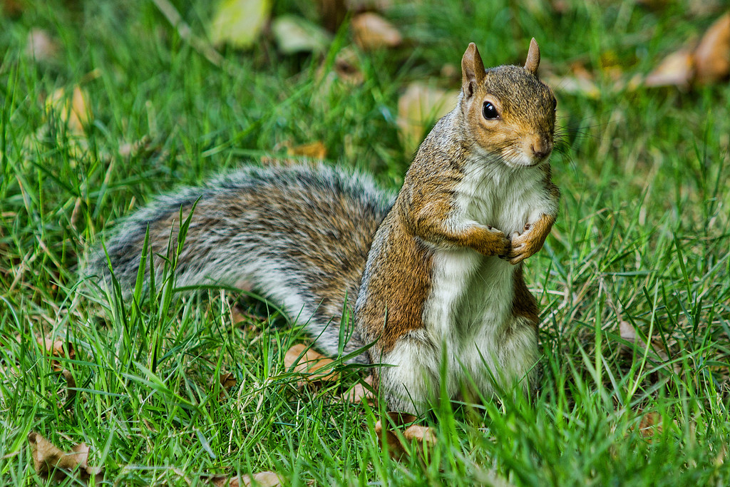 A rather humble British Squirrel